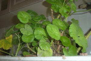 frunze muscate