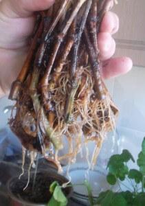 radacini de muscate