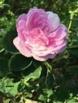 trandafir-04