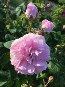 tufa-trandafir-01