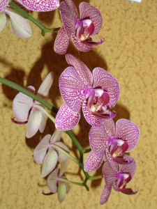 orhidee-phalaenopsis-in-ghiveci-01