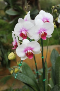 orhidee-phalaenopsis-in-ghiveci-02