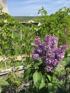 flori-de-liliac-langa-gard