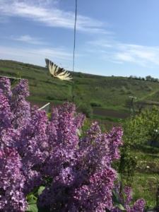 flori-de-liliac-si-un-fluture-in-zbor