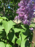 fluture-adulmecand-niste-flori-de-liliac